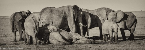 mourning elephants