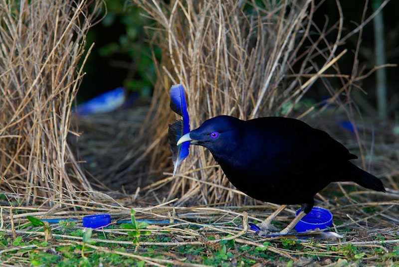 Bowerbird at Bower 1