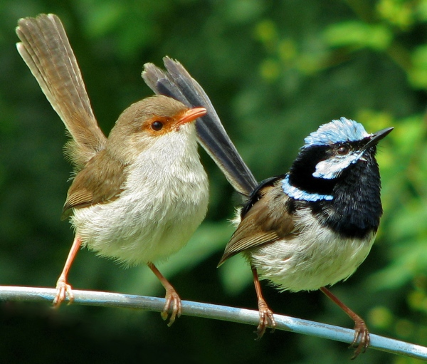 Fairy Wrens Scott Fontini