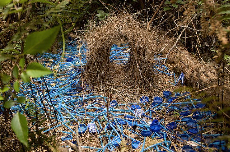 Satin-Bower-Bird-Display