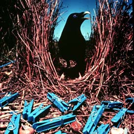 satin_bowerbird blue pegs