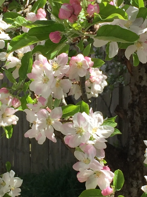 apple blossom 17.1
